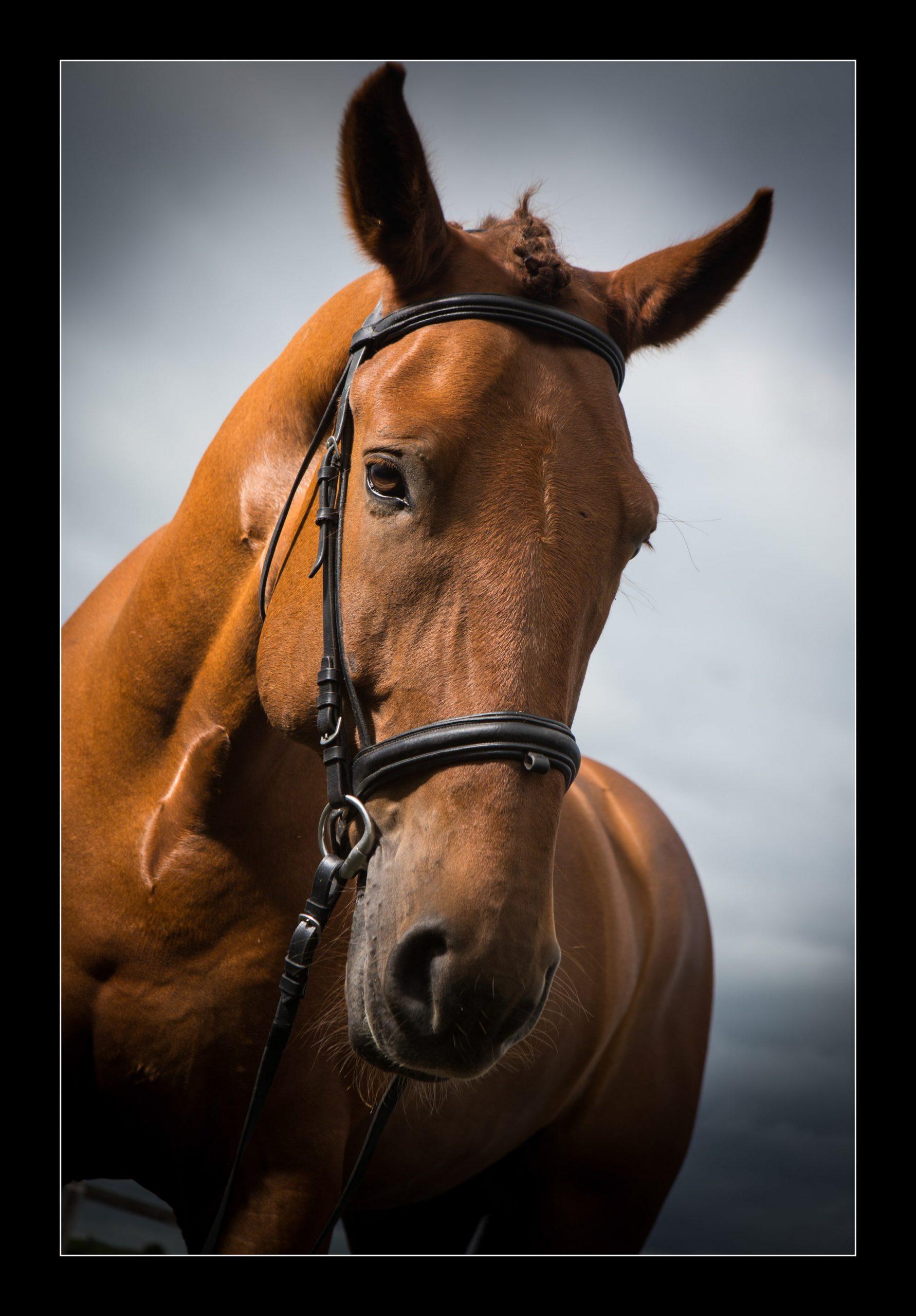 horse_portrait_equine_023-min
